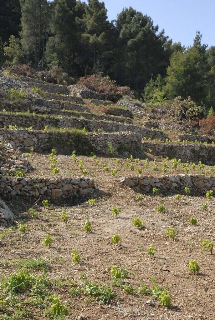 mladi vinograd Prizdrina-Sv. Kriz .jpg 9